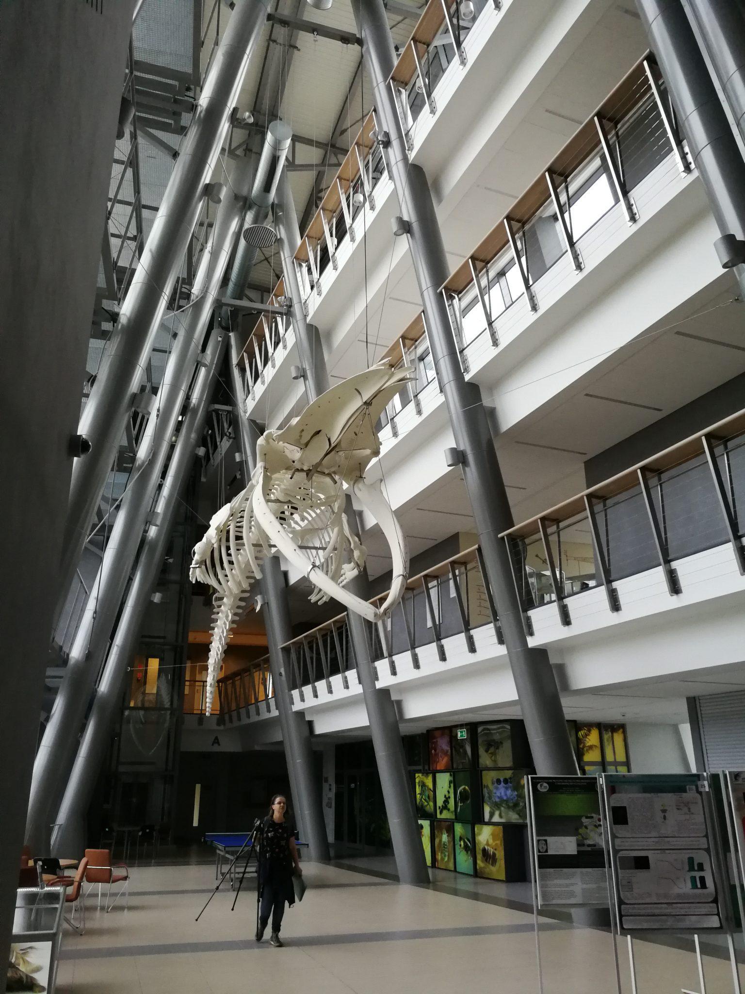Szkielet-finfala-Wydział-Biologii UG
