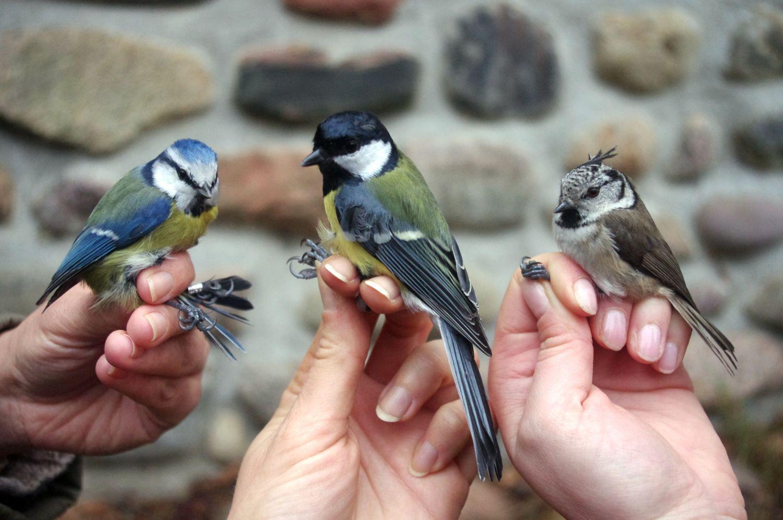 Leśny Ogród Botaniczny w Marszewie pokazy obrączkowania ptaków autor Witold Ciechanowicz